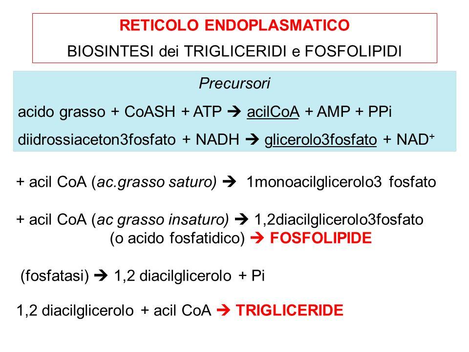 + acil CoA (ac.grasso saturo) 1monoacilglicerolo3 fosfato + acil CoA (ac grasso insaturo) 1,2diacilglicerolo3fosfato (o acido fosfatidico) FOSFOLIPIDE (fosfatasi) 1,2 diacilglicerolo + Pi 1,2 diacilglicerolo + acil CoA TRIGLICERIDE RETICOLO ENDOPLASMATICO BIOSINTESI dei TRIGLICERIDI e FOSFOLIPIDI Precursori acido grasso + CoASH + ATP acilCoA + AMP + PPi diidrossiaceton3fosfato + NADH glicerolo3fosfato + NAD +