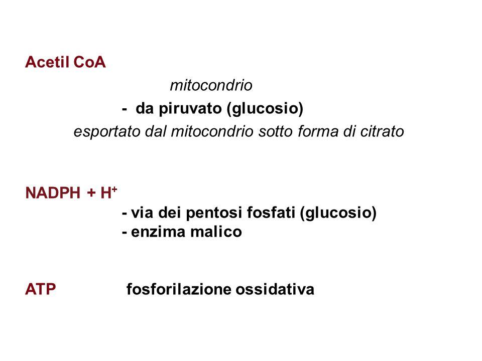 Acetil CoA mitocondrio - da piruvato (glucosio) esportato dal mitocondrio sotto forma di citrato NADPH + H + - via dei pentosi fosfati (glucosio) - enzima malico ATP fosforilazione ossidativa