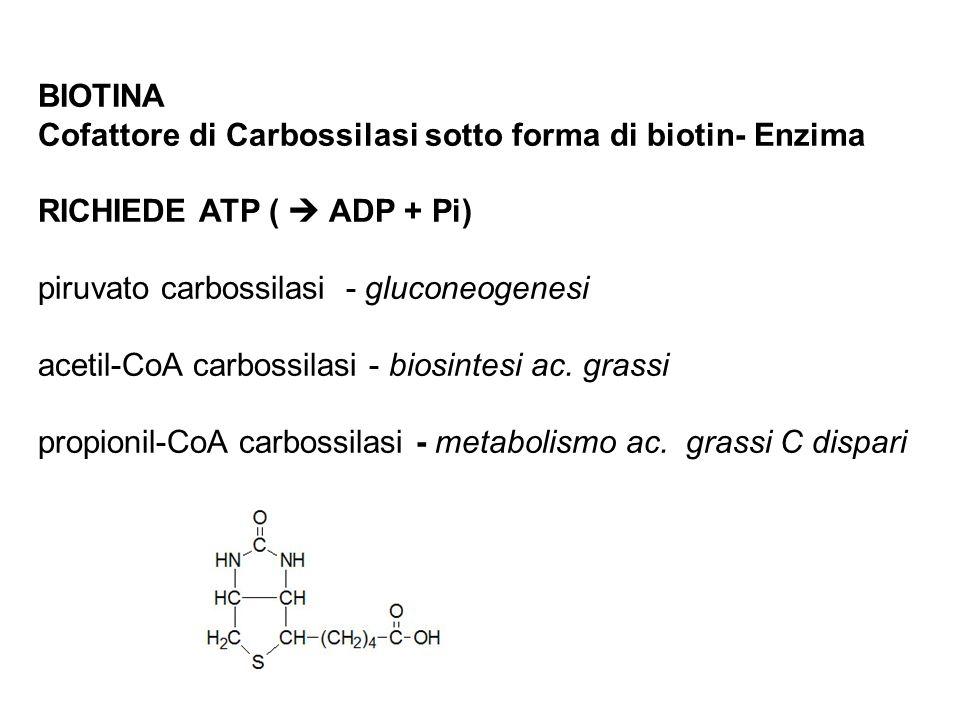 BIOTINA Cofattore di Carbossilasi sotto forma di biotin- Enzima RICHIEDE ATP ( ADP + Pi) piruvato carbossilasi - gluconeogenesi acetil-CoA carbossilasi - biosintesi ac.