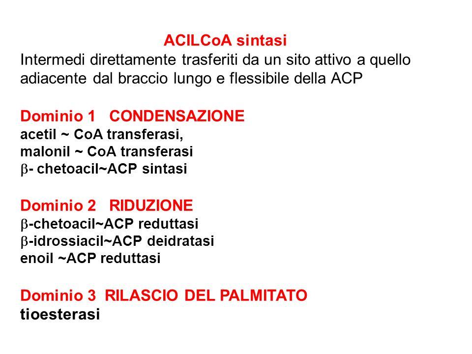 ACILCoA sintasi Intermedi direttamente trasferiti da un sito attivo a quello adiacente dal braccio lungo e flessibile della ACP Dominio 1 CONDENSAZIONE acetil ~ CoA transferasi, malonil ~ CoA transferasi - chetoacil~ACP sintasi Dominio 2 RIDUZIONE -chetoacil~ACP reduttasi -idrossiacil~ACP deidratasi enoil ~ACP reduttasi Dominio 3 RILASCIO DEL PALMITATO tioesterasi