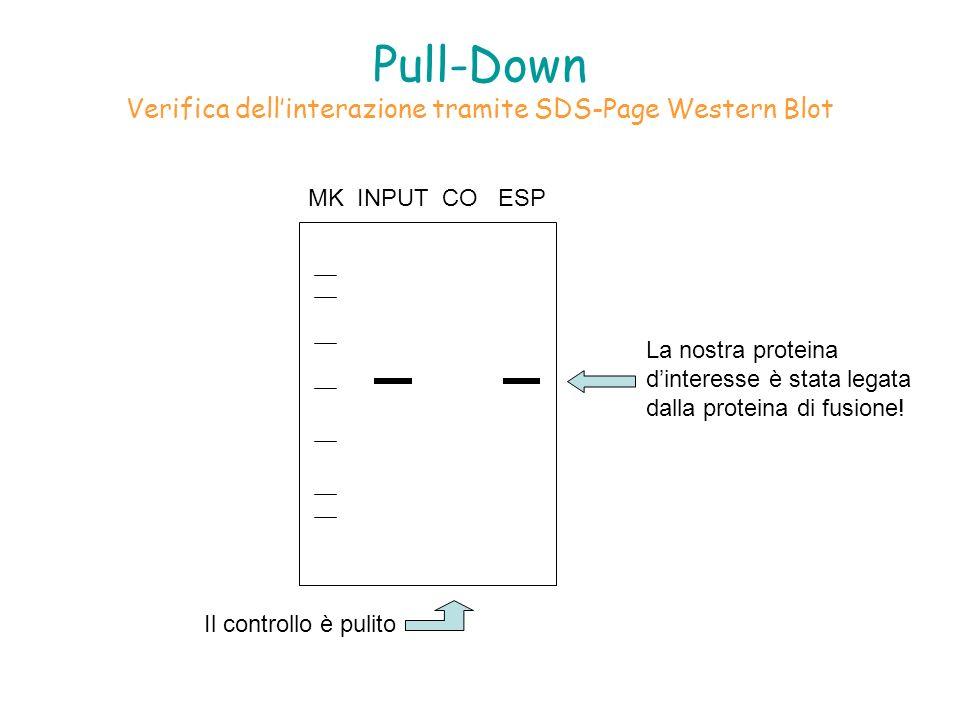Pull-Down Verifica dellinterazione tramite SDS-Page Western Blot MK INPUT CO ESP La nostra proteina dinteresse è stata legata dalla proteina di fusion