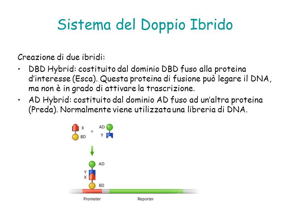 Creazione di due ibridi: DBD Hybrid: costituito dal dominio DBD fuso alla proteina dinteresse (Esca). Questa proteina di fusione può legare il DNA, ma