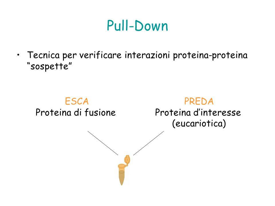 Pull-Down Tecnica per verificare interazioni proteina-proteina sospette ESCA Proteina di fusione PREDA Proteina dinteresse (eucariotica)