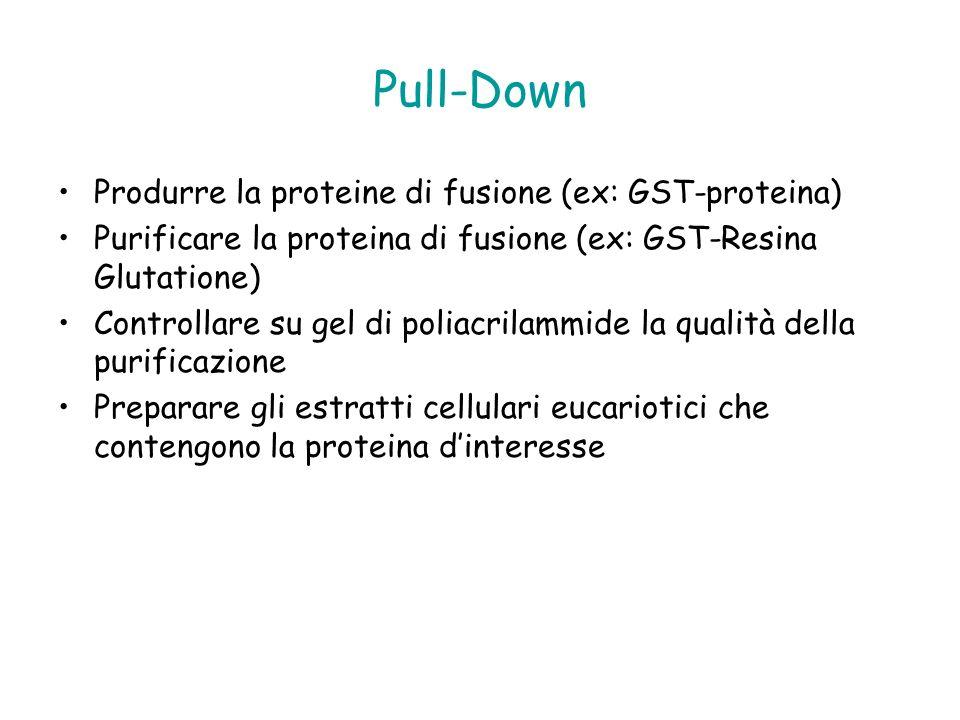Pull-Down Produrre la proteine di fusione (ex: GST-proteina) Purificare la proteina di fusione (ex: GST-Resina Glutatione) Controllare su gel di polia