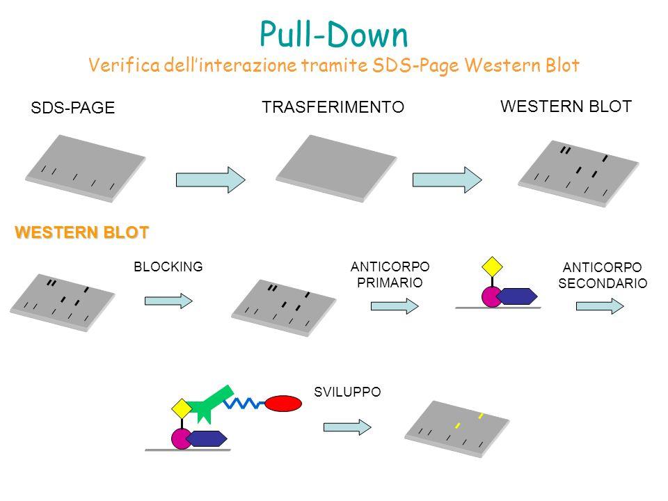 Pull-Down Verifica dellinterazione tramite SDS-Page Western Blot SDS-PAGE TRASFERIMENTO WESTERN BLOT BLOCKINGANTICORPO PRIMARIO ANTICORPO SECONDARIO S
