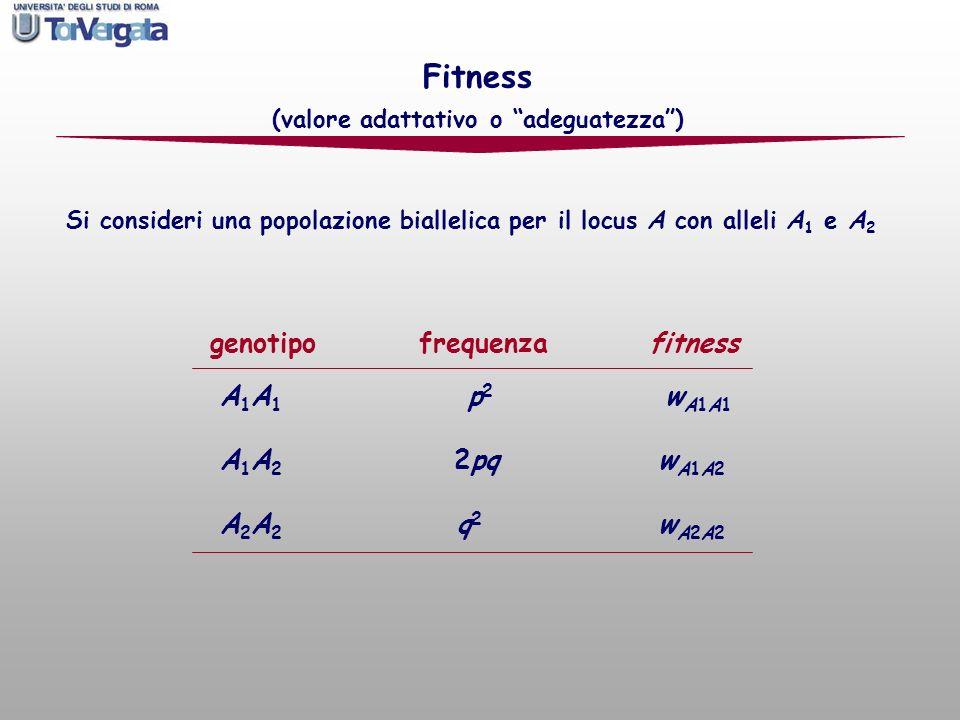 genotipo frequenza fitness A 1 A 1 p 2 w A1A1 A 1 A 2 2pq w A1A2 A 2 A 2 q 2 w A2A2 Fitness (valore adattativo o adeguatezza) Si consideri una popolaz
