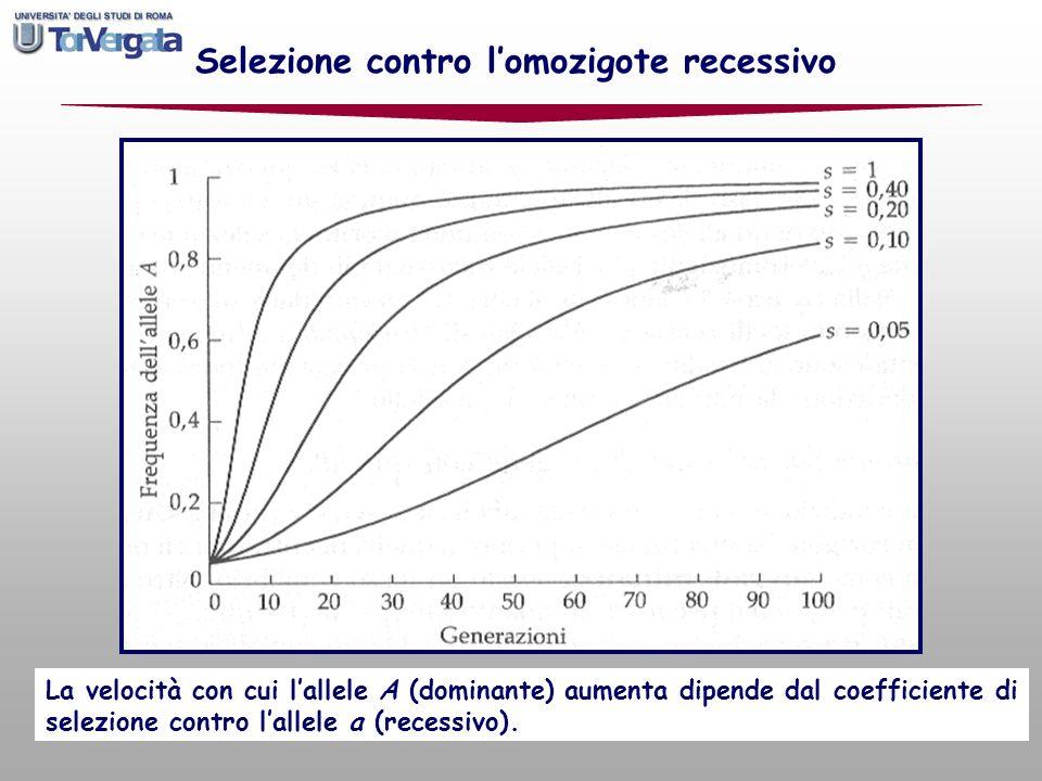 figura p 159 dellHartl La velocità con cui lallele A (dominante) aumenta dipende dal coefficiente di selezione contro lallele a (recessivo). Selezione