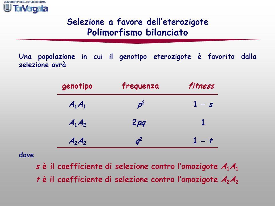 Selezione a favore delleterozigote Polimorfismo bilanciato genotipo frequenza fitness A 1 A 1 p 2 1 s A 1 A 2 2pq 1 A 2 A 2 q 2 1 t dove t è il coeffi