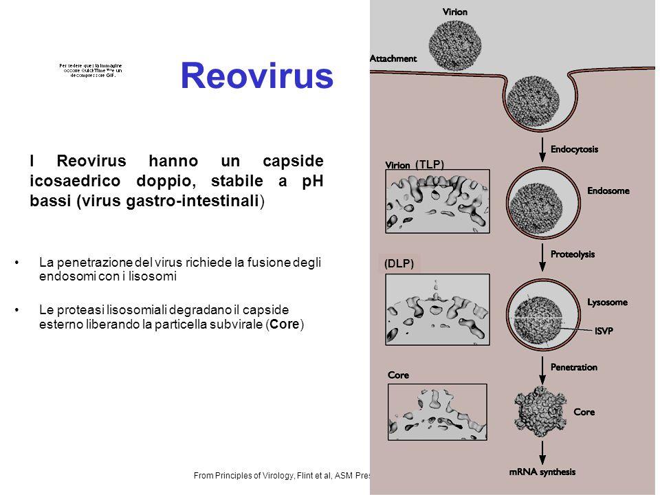 12 Reovirus La penetrazione del virus richiede la fusione degli endosomi con i lisosomi Le proteasi lisosomiali degradano il capside esterno liberando