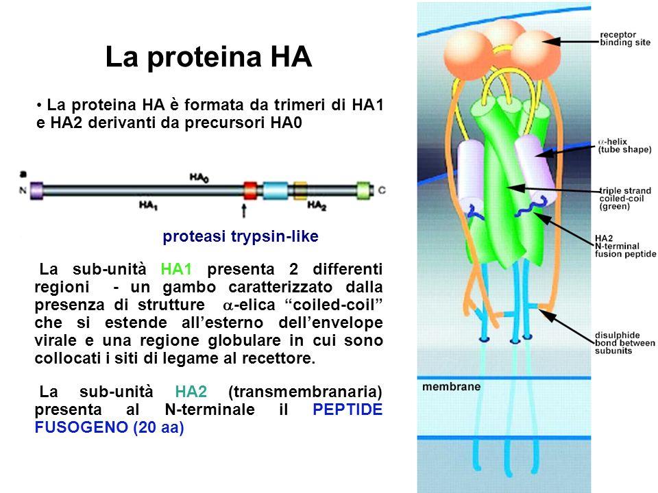 15 La proteina HA Trimeri metastabili a pH neutro La sub-unità HA1 presenta 2 differenti regioni - un gambo caratterizzato dalla presenza di strutture