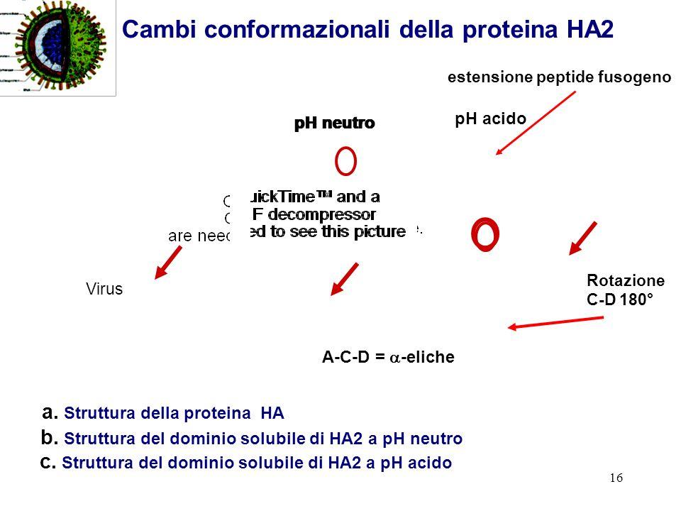 16 A-C-D = -eliche b. Struttura del dominio solubile di HA2 a pH neutro pH neutro c. Struttura del dominio solubile di HA2 a pH acido estensione pepti