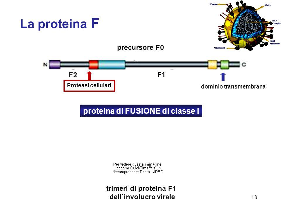 18 La proteina F proteina di FUSIONE di classe I precursore F0 trimeri di proteina F1 dellinvolucro virale Proteasi cellulari F2 F1 dominio transmembr