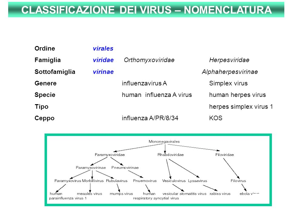 2 Ordinevirales Famigliaviridae OrthomyxoviridaeHerpesviridae Sottofamigliavirinae Alphaherpesvirinae Genereinfluenzavirus A Simplex virus Speciehuman