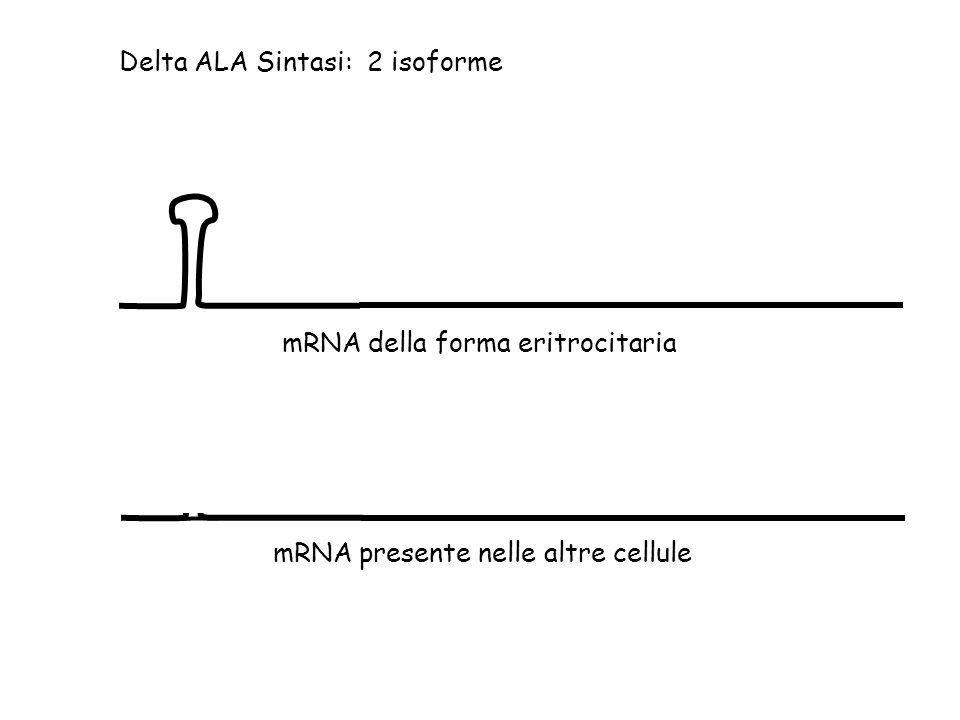 Delta ALA Sintasi: 2 isoforme mRNA della forma eritrocitaria mRNA presente nelle altre cellule