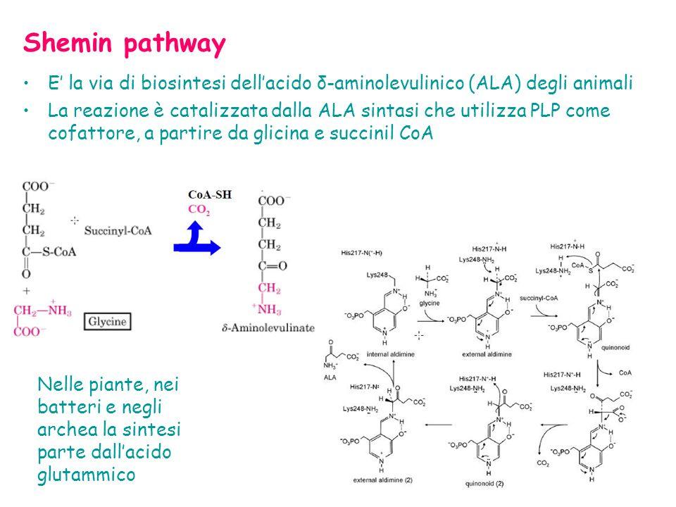Shemin pathway E la via di biosintesi dellacido δ-aminolevulinico (ALA) degli animali La reazione è catalizzata dalla ALA sintasi che utilizza PLP come cofattore, a partire da glicina e succinil CoA Nelle piante, nei batteri e negli archea la sintesi parte dallacido glutammico