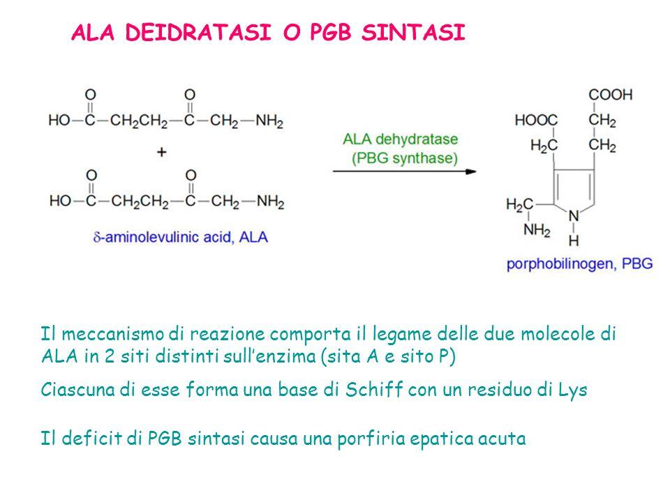 Il meccanismo di reazione comporta il legame delle due molecole di ALA in 2 siti distinti sullenzima (sita A e sito P) Ciascuna di esse forma una base di Schiff con un residuo di Lys Il deficit di PGB sintasi causa una porfiria epatica acuta ALA DEIDRATASI O PGB SINTASI