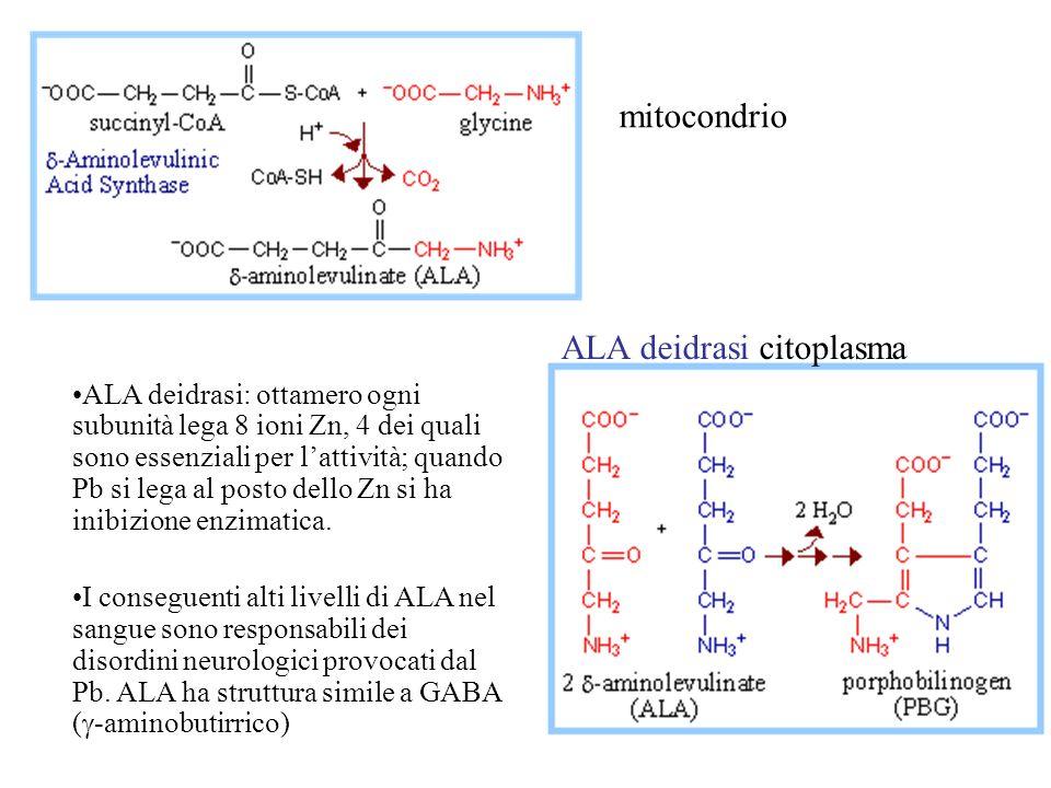ALA deidrasi citoplasma ALA deidrasi: ottamero ogni subunità lega 8 ioni Zn, 4 dei quali sono essenziali per lattività; quando Pb si lega al posto dello Zn si ha inibizione enzimatica.