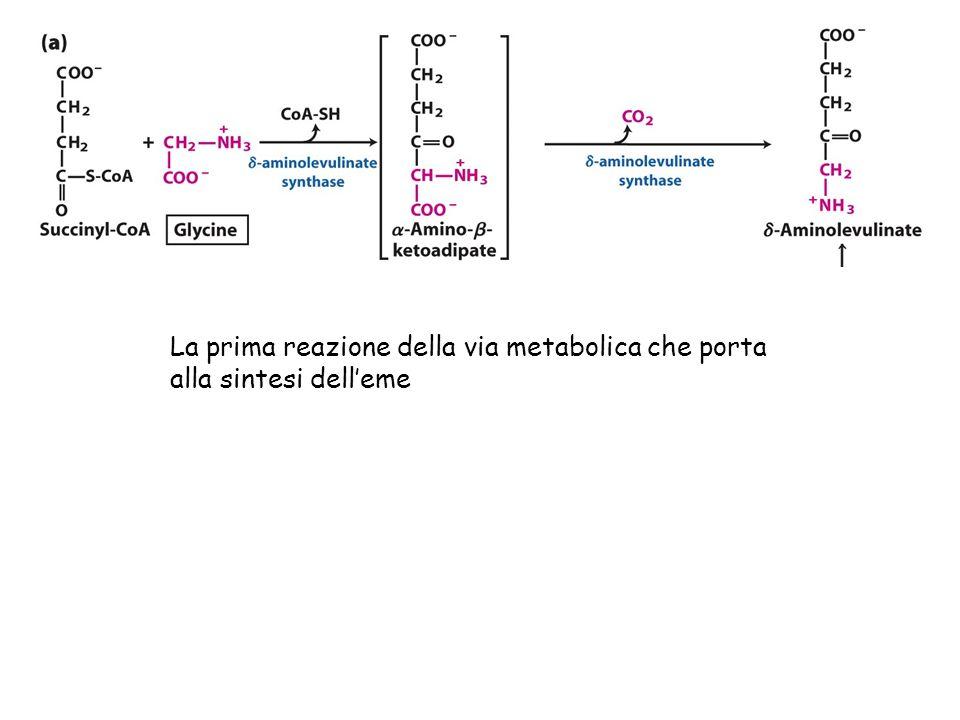 La prima reazione della via metabolica che porta alla sintesi delleme