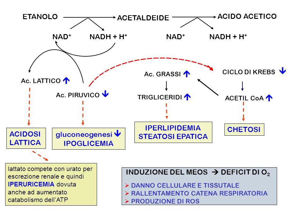 ETANOLO ACETALDEIDE ACIDO ACETICO NAD + NADH + H + NAD + Ac. LATTICO Ac. PIRUVICO ACIDOSI LATTICA gluconeogenesi IPOGLICEMIA Ac. GRASSI TRIGLICERIDI I