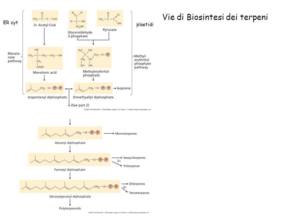 Vie di Biosintesi dei terpeni plastidi ER cyt