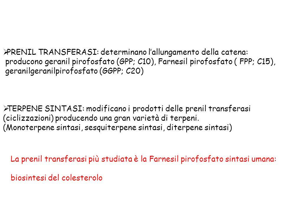 PRENIL TRANSFERASI: determinano lallungamento della catena: producono geranil pirofosfato (GPP; C10), Farnesil pirofosfato ( FPP; C15), geranilgeranilpirofosfato (GGPP; C20) TERPENE SINTASI: modificano i prodotti delle prenil transferasi (ciclizzazioni) producendo una gran varietà di terpeni.