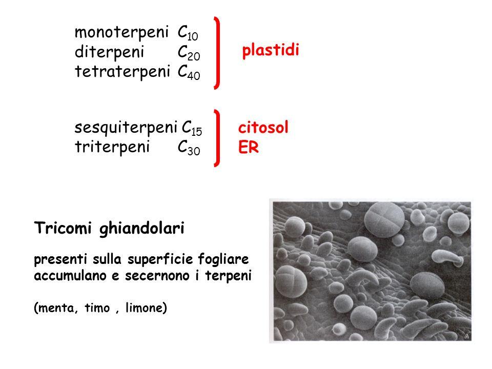 monoterpeni C 10 diterpeni C 20 tetraterpeni C 40 sesquiterpeni C 15 triterpeni C 30 plastidi citosol ER Tricomi ghiandolari presenti sulla superficie fogliare accumulano e secernono i terpeni (menta, timo, limone)