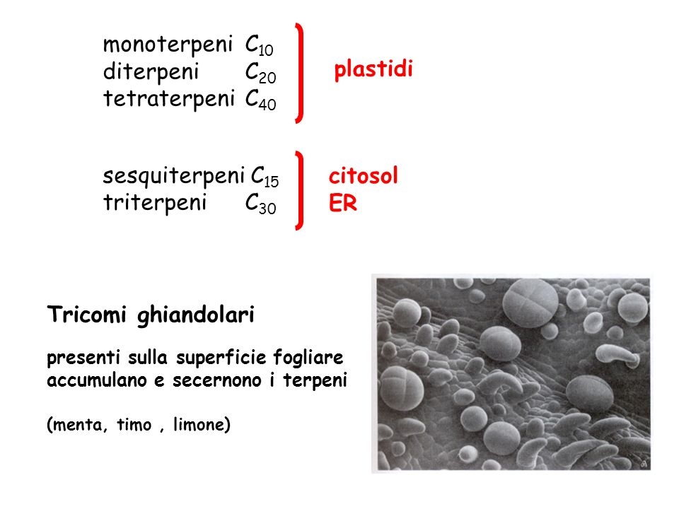 monoterpeni C 10 diterpeni C 20 tetraterpeni C 40 sesquiterpeni C 15 triterpeni C 30 plastidi citosol ER Tricomi ghiandolari presenti sulla superficie