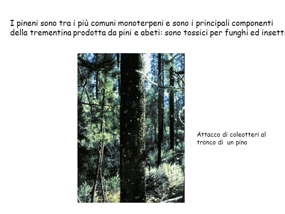 I pineni sono tra i più comuni monoterpeni e sono i principali componenti della trementina prodotta da pini e abeti: sono tossici per funghi ed insetti Attacco di coleotteri al tronco di un pino