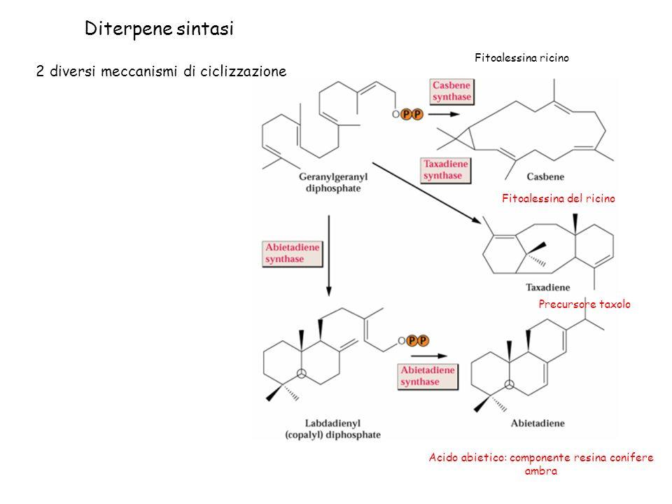 Diterpene sintasi 2 diversi meccanismi di ciclizzazione Fitoalessina ricino Acido abietico: componente resina conifere ambra Fitoalessina del ricino Precursore taxolo