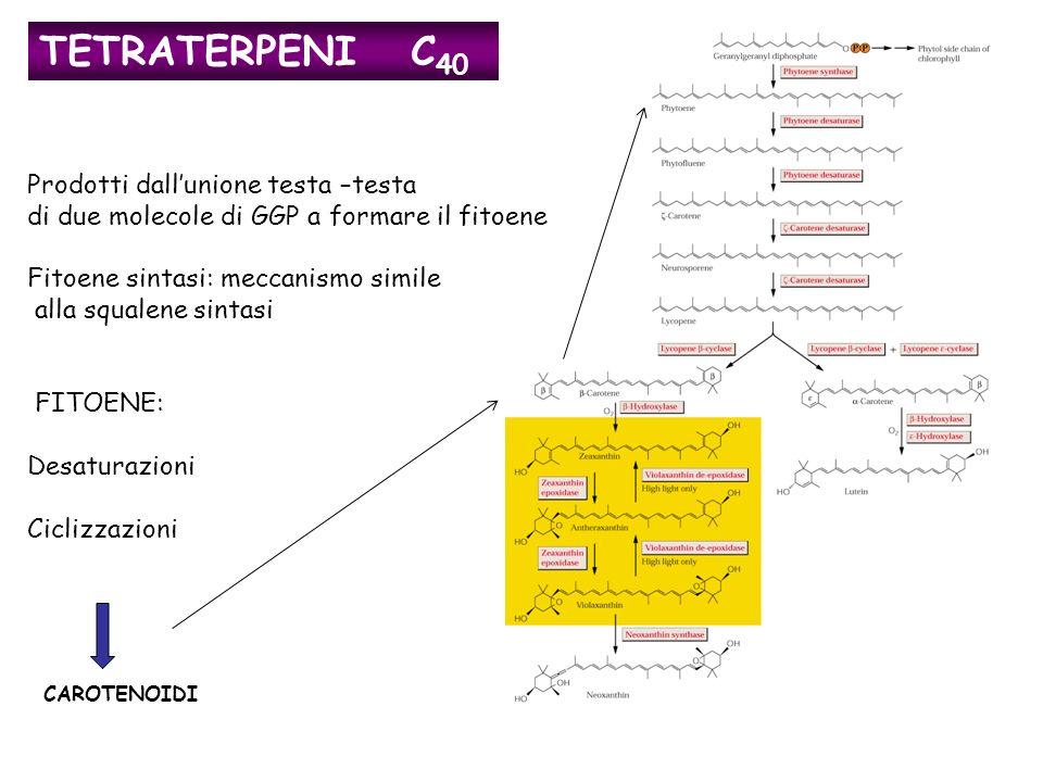 CAROTENOIDI TETRATERPENI C 40 Prodotti dallunione testa –testa di due molecole di GGP a formare il fitoene Fitoene sintasi: meccanismo simile alla squalene sintasi FITOENE: Desaturazioni Ciclizzazioni