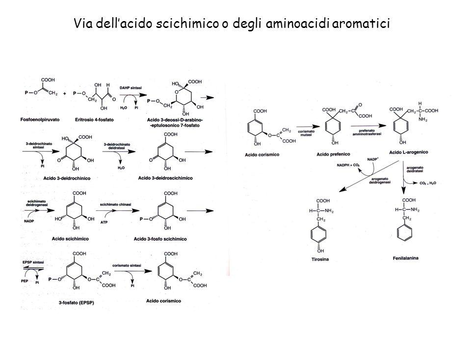 Via dellacido scichimico o degli aminoacidi aromatici