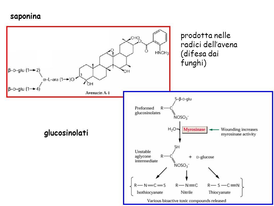 saponina prodotta nelle radici dellavena (difesa dai funghi) glucosinolati
