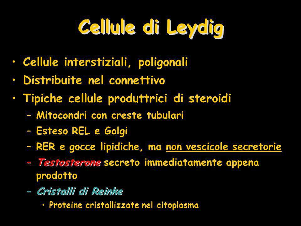 Cellule di Leydig Cellule interstiziali, poligonali Distribuite nel connettivo Tipiche cellule produttrici di steroidi –Mitocondri con creste tubulari –Esteso REL e Golgi –RER e gocce lipidiche, ma non vescicole secretorie –Testosterone –Testosterone secreto immediatamente appena prodotto –Cristalli di Reinke Proteine cristallizzate nel citoplasma