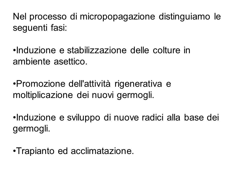 Nel processo di micropopagazione distinguiamo le seguenti fasi: Induzione e stabilizzazione delle colture in ambiente asettico.