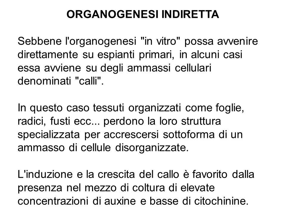 ORGANOGENESI INDIRETTA Sebbene l organogenesi in vitro possa avvenire direttamente su espianti primari, in alcuni casi essa avviene su degli ammassi cellulari denominati calli .
