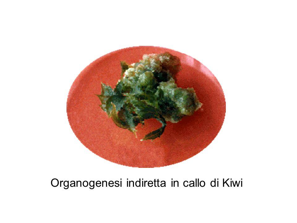Organogenesi indiretta in callo di Kiwi