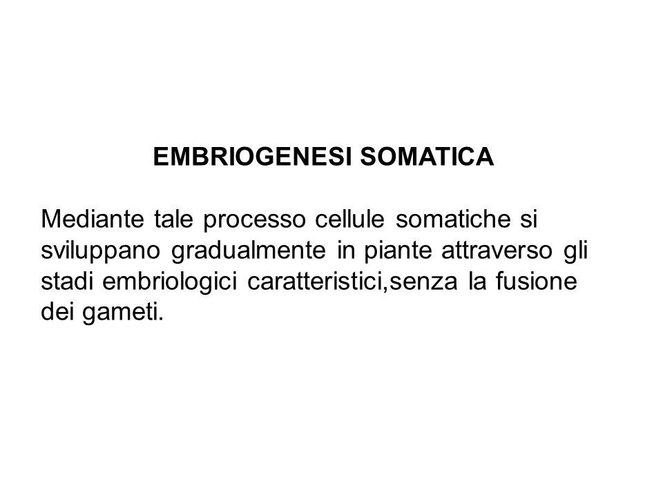 EMBRIOGENESI SOMATICA Mediante tale processo cellule somatiche si sviluppano gradualmente in piante attraverso gli stadi embriologici caratteristici,senza la fusione dei gameti.