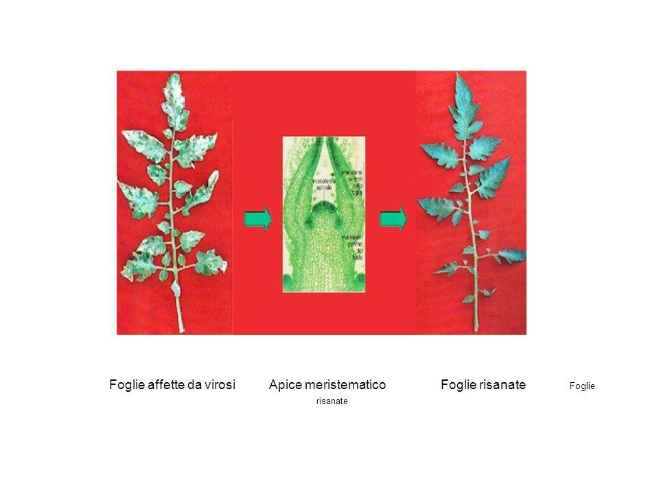 Foglie affette da virosi Apice meristematico Foglie risanate Foglie risanate