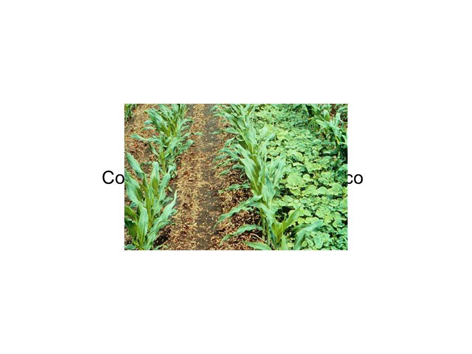 Coltivazione di mais trasngenico