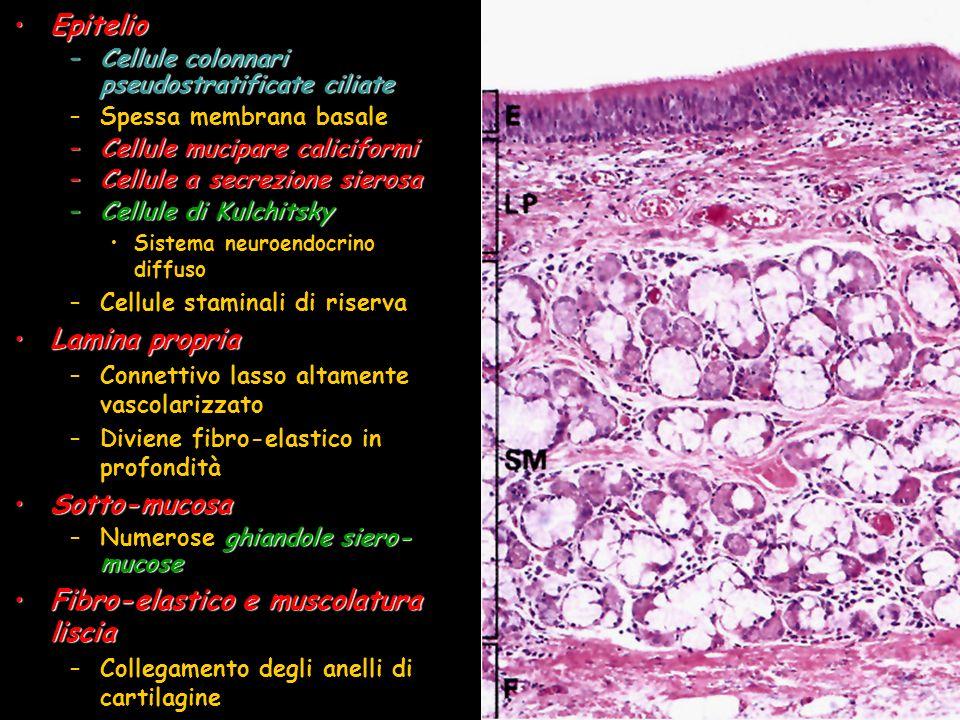 EpitelioEpitelio –Cellule colonnari pseudostratificate ciliate –Spessa membrana basale –Cellule mucipare caliciformi –Cellule a secrezione sierosa –Ce