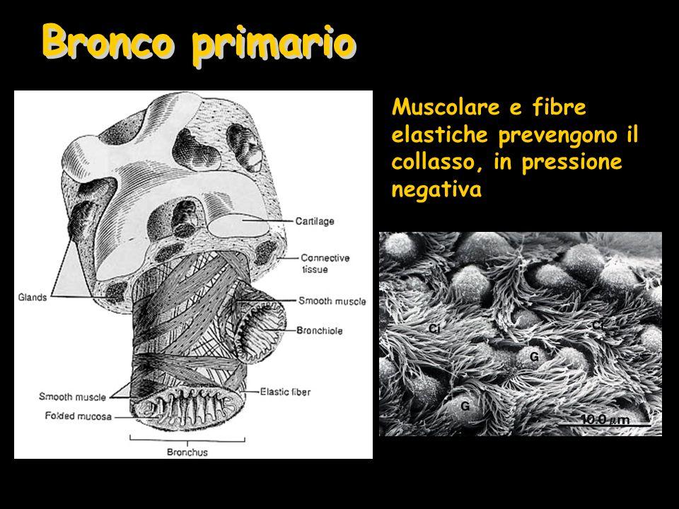 Bronco primario Muscolare e fibre elastiche prevengono il collasso, in pressione negativa