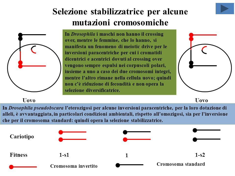 Il meiotic drive attenua gli effetti negativi della selezione diversificatrice subito dopo la comparsa di mutazioni cromosomiche sottodominanti p=0 p=1 p=0,5 Il meiotic drive a favore del cromosoma mutato, per cui i cromatidi del cromosoma standard vengono in prevalenza espulsi nei corpuscoli polari, insieme a un cromatidio del cromosoma mutato, mentre laltro cromatidio del cromosoma mutato rimane nella cellula uovo, determina un abbassamento del valore di equilibrio instabile p^=0,5 che può raggiungere lo 0 e una conseguente riduzione in valore assoluto del p negativo e un aumento di quello positivo.
