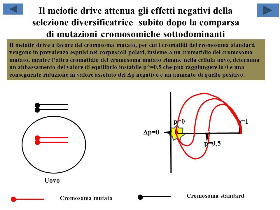 Il vantaggio per lomozigote attenua gli effetti negativi della selezione diversificatrice subito dopo la comparsa di mutazioni cromosomiche sottodominanti p=0 p=1 p=0,5 Il vantaggio selettivo del cromosoma mutato in omozigosi rispetto al cromosoma standard in omozigosi, determina un abbassamento del valore di equilibrio instabile p^=0,5 e una conseguente riduzione in valore assoluto del p negativo e un aumento di quello positivo.