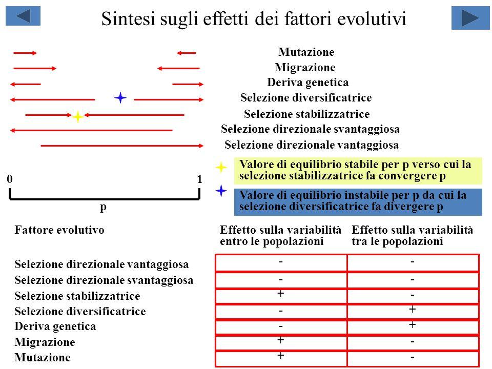 Linincrocio preferenziale Linincrocio preferenziale è una delle modalità di incrocio diverse dalla panmissia Se, in una popolazione con 2 alleli (A1 e A2) per il gene A, si incrociano tra loro gli individui con lo stesso genotipo (omozigoti A1A1 fra loro, omozigoti A2A2 fra loro, eterozigoti A1A2 fra loro, ad ogni generazione si riduce la frequenza degli eterozigoti.