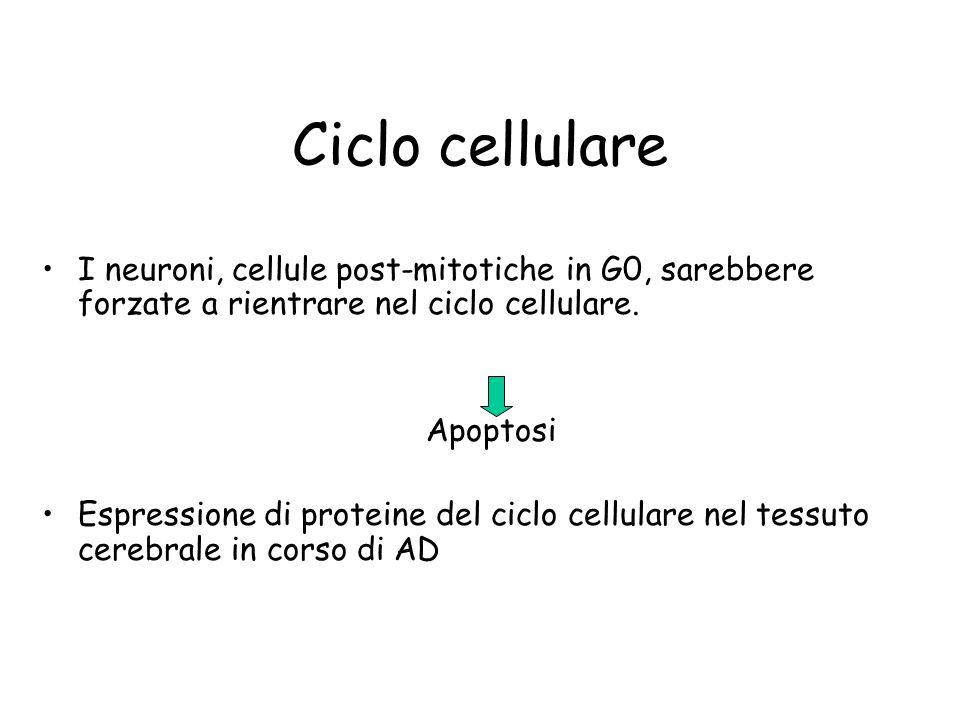 Ciclo cellulare I neuroni, cellule post-mitotiche in G0, sarebbere forzate a rientrare nel ciclo cellulare. Apoptosi Espressione di proteine del ciclo