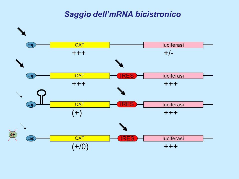 Saggio dellmRNA bicistronico CAT luciferasi cap CAT luciferasi cap IRES CAT luciferasi cap IRES CAT luciferasi cap IRES 4F +++ +/- (+) +++ (+/0) +++
