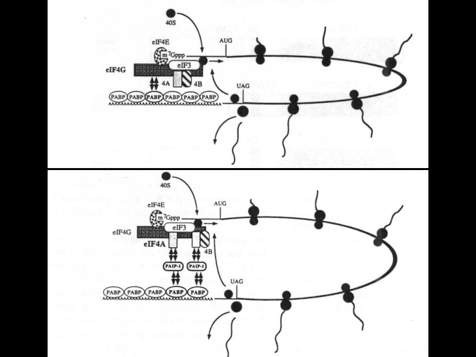 FUNZIONI DELL RNA NELLA CELLULA MODERNA traduzione rRNA, mRNA, tRNA maturazione rRNAsnoRNA, RNasi MRP splicing snRNA, introni gruppi I e II maturazione tRNARNasi P sintesi DNA primers, telomerasi traslocaz.