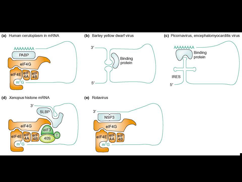 Ruolo di PABP nella traduzione Ruolo di PABP nella traduzione In estratti cell free di lievito sinergismo tra cap e coda poli(A) Interazione tra PABP e eIF4G eIF4E, eIF4G, PABP e mRNA forma strutture circolari (in vitro) Altre proteine che interagiscono con PABP (Paip1, 2 e eRF3)