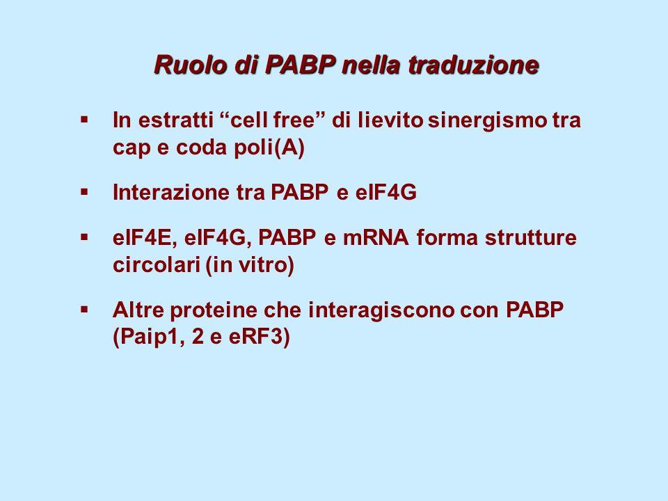 Ruolo di PABP nella traduzione Ruolo di PABP nella traduzione In estratti cell free di lievito sinergismo tra cap e coda poli(A) Interazione tra PABP