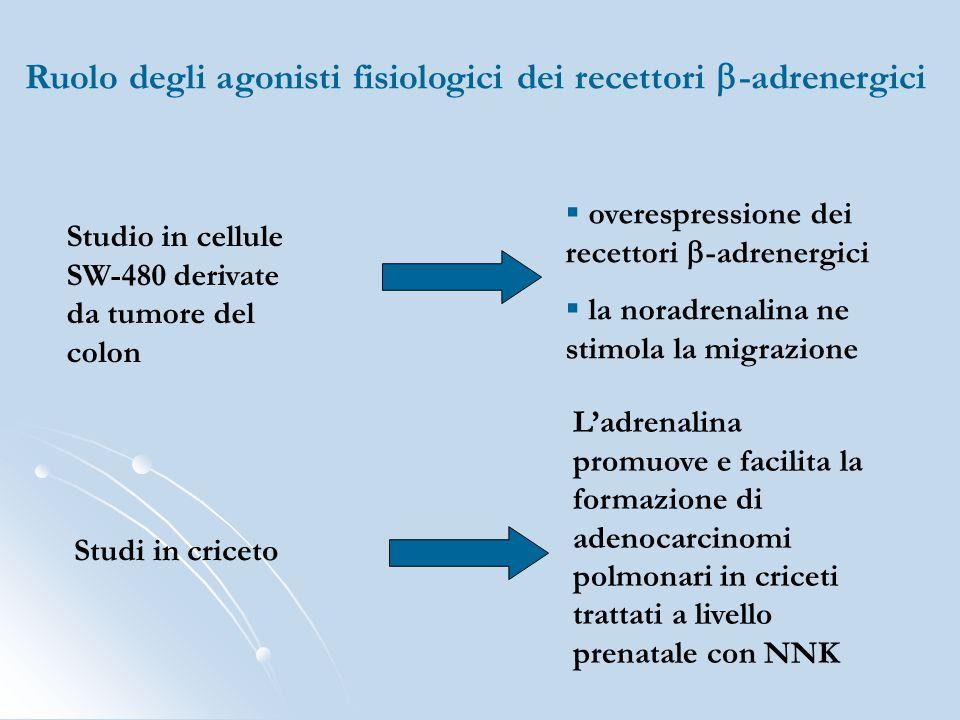 Studio in cellule SW-480 derivate da tumore del colon overespressione dei recettori -adrenergici la noradrenalina ne stimola la migrazione Studi in cr